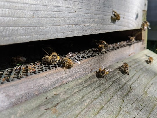 bees flying into hive